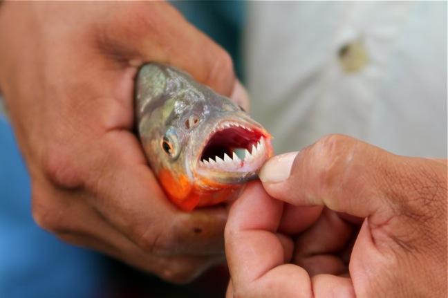 Piranha's Attack In Argentina Leaving 70 Injured | LATF USA